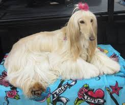 afghan hound westminster groom expo west pet age