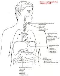 Human Anatomy Torso Diagram Human Anatomy Organs And Functions Anatomy Genetic Disorders