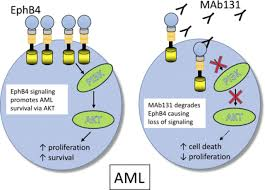 target danvers ma black friday hours ephb4 is a therapeutic target in aml and promotes leukemia cell
