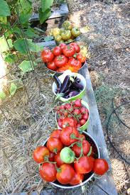 Tips For Planting A Vegetable Garden by A Growing Passion When Are Those Vegetables Ripe Important Tips