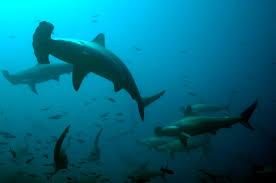 tag hammerhead sharks turtle island restoration network