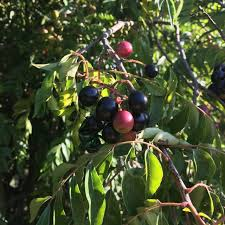 curry berries information recipes and facts