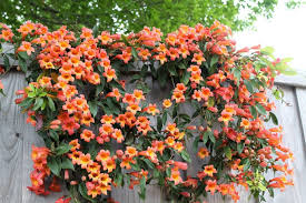 trumpet vines plants for fence great plants for fence gallery