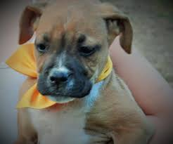 boxer puppy halloween costumes funny boxer dog images