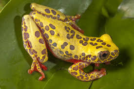 tree frogs newly discovered and already threatened