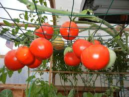 light requirements for growing tomatoes indoors who doesn t love a fresh tomato