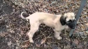 afghan hound 9 months afghan hound pups at 12 weeks youtube