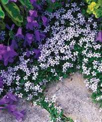 campanula sm purple flowers growing on brick wall flores que