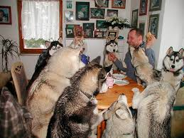 dogs at dinner table white wolf amazing pictures show dogs enjoying feast at the dinner