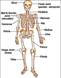 multiple choice quiz on skeletal system biology multiple choice
