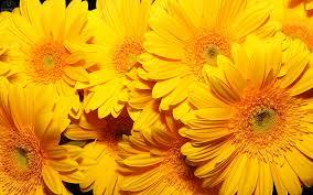 yellow daisy wallpapers daisy wallpaper 1920x1080 38042