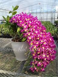 orchid plants 100 pcs dendrobium seeds potted seed flower in bonsai orchid