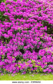 rhododendron bush rhododendron ponticum an invasive ornamental