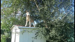 my husky is stuck on the roof u0026 does kitana have a collapsed lung