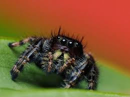 Image 325848 Misunderstood Spider Know - 20 best bugz images on pinterest jumping spider science nature
