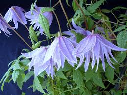 spring flower how to grow spring flowering clematis saga
