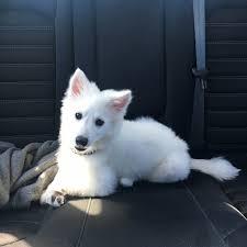 miniature american eskimo dog life expectancy american eskimo dog simple english wikipedia the free encyclopedia