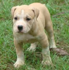 american pitbull terrier info best 25 american pitbull for sale ideas on pinterest pitbull