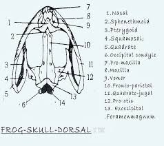 comparative anatomy skull of fish frog lizard bird and rabbit