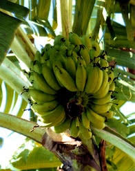 86 best abc s of musaceae banana images on bananas