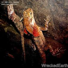 Seeking Lizard Cave Lizards