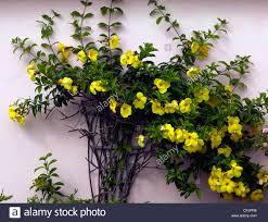 how to grow alamanda in florida better life