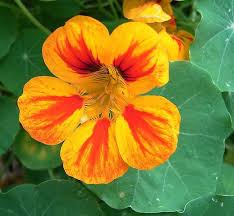 nasturtium flower nasturtium herb uses benefits and medicinal properties herbs