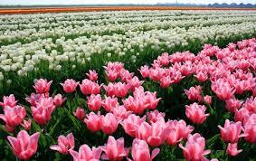 Tulip Field Tulip Field Wallpapers Tulip Field Stock Photos