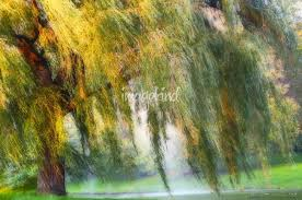 weeping willow tree by carol f