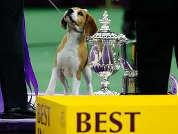afghan hound westminster the 2015 westminster kennel club dog show photos abc news