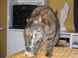 Stupid Cat Meme - stupid but thirsty cat