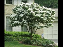 dogwood tree clearance sale east garden ideas