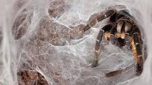 giant jumping spider spirit halloween tarantula in web ngsversion 1411402210508 jpg