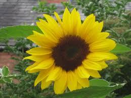 poems about sunflowers nurturestore