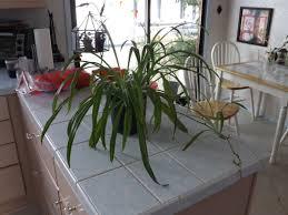 spider plant care sosplantcare com