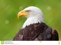 bald eagle bird stock images image 9247314