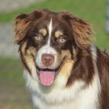 australian shepherd adoption central aussie rescue u0026 support central aussie rescue and support