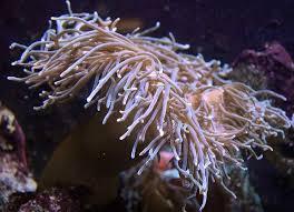 anemone atlantic city aquarium