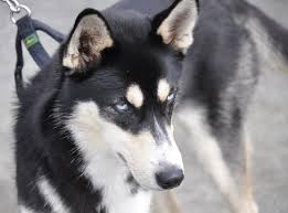 australian shepherd wolf mix husky mixed with german shepherd laura williams