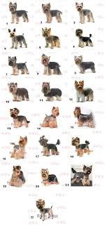 yorkie hair cut chart best 25 yorkie hairstyles ideas on pinterest yorkie cuts
