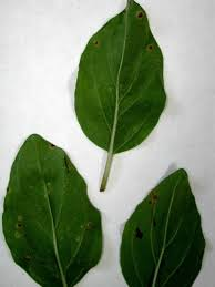 Plant Diseases Wikipedia - puccinia menthae wikipedia