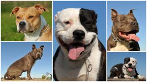 american pit bull terrier vs american staffordshire terrier pitbull temperament u2013 is the aggression all hype or real