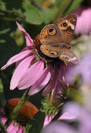 wisconsin native plants 25 best pollinators and native plants images on pinterest native