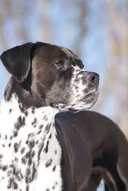 10 boxer dog facts dalmatian boxer mix dita dogs pinterest boxer mix