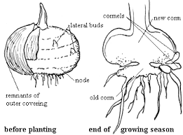 Vegetative Propagation By Roots - asexual propagation by underground structures garden org