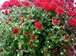 mums flower friday weekend u0027s
