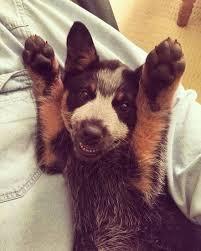 accounting resume exles australian kelpie lab 315 best dogs mostly heelers images on pinterest australian