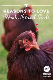 best backyard chickens best 25 rhode island red ideas on pinterest hens chicken