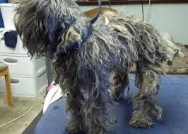 schnauzers hair cuts before after photos laurel s pet grooming