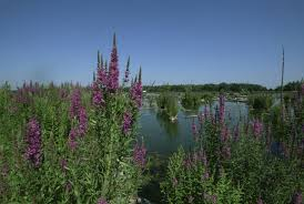 native plant species got loosestrife now u0027s the time to check u s fish and wildlife